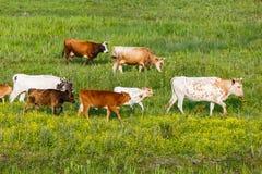 Табун коровы в луге Стоковое Фото