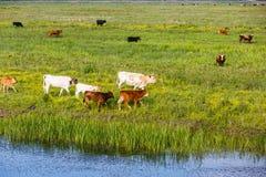 Табун коровы в луге Стоковое фото RF