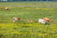 Табун коровы в луге Стоковые Фото