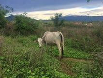 Табун коровы в луге Стоковые Изображения