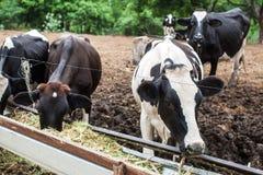 Табун коровы молока на ферме Стоковое фото RF