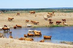 Табун коровы на озере на Португалии Стоковые Фото
