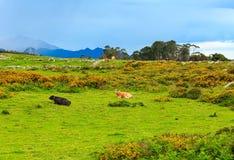 Табун коровы на холме лета Стоковые Изображения