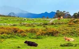 Табун коровы на холме лета Стоковые Фото