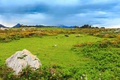 Табун коровы на холме лета Стоковое Изображение