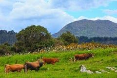 Табун коровы на холме лета Стоковая Фотография RF