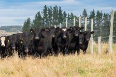 Табун коровы, Новой Зеландии стоковая фотография rf