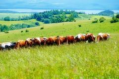 Табун коровы пася на красивом зеленом луге, с горами в предпосылке Стоковые Фотографии RF