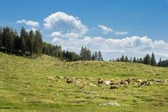 Табун коровы Стоковые Фотографии RF