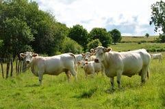 Табун коровы Charolais с маленькой икрой Стоковое Изображение
