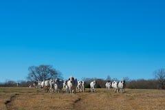 Табун коров Брахмана стоковое изображение rf