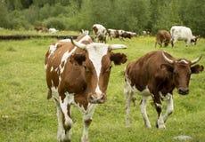 Табун коров в выгоне Стоковое Фото