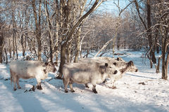 Табун коров в снежном выгоне Стоковое Изображение