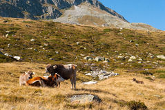 Табун коров в швейцарцах Альпах Стоковые Фото
