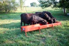 Табун коров говядины подавая на дополнительной еде Стоковая Фотография