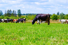 Табун коров идет на поле против голубого неба с облаками Стоковые Изображения