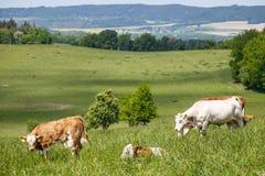 Табун коров и икр на зеленом луге Стоковая Фотография RF