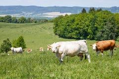 Табун коров и икр на зеленом луге Стоковое фото RF