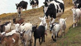 Табун коров и коз на дороге сток-видео
