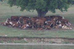 Табун коров лежа в тени под деревом после пасти Ландшафт с коровами на луге близко озером Отсутствие процесса столба, отсутствие  Стоковая Фотография RF