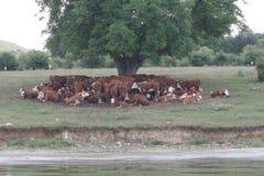 Табун коров лежа в тени под деревом после пасти Ландшафт с коровами на луге близко озером Отсутствие процесса столба, отсутствие  Стоковое Изображение