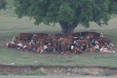 Табун коров лежа в тени под деревом после пасти Ландшафт с коровами на луге близко озером Отсутствие процесса столба, отсутствие  Стоковое фото RF