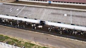 Табун коров на взгляде фермы от трутня стоковые изображения rf