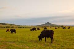 Табун коров на выгоне в центральных богемских гористых местностях, чехии стоковая фотография