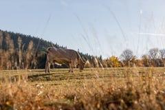 Табун коров на выгоне осени Луг и корова осени Стоковые Изображения