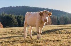 Табун коров на выгоне осени Луг и корова осени Стоковое фото RF