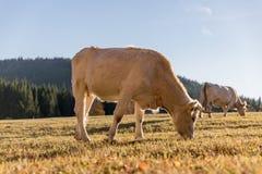 Табун коров на выгоне осени Луг и корова осени Стоковые Изображения RF