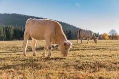 Табун коров на выгоне осени Луг и корова осени Стоковая Фотография