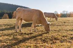 Табун коров на выгоне осени Луг и корова осени Стоковые Фотографии RF