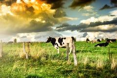 Табун коров на заходе солнца лета Стоковые Изображения
