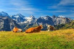 Табун коров на красивом зеленом поле, Bernese Oberland, Швейцарии Стоковая Фотография