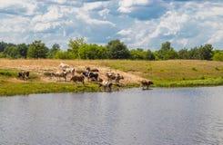 Табун коров на мочить гасит жажду с водой и остатками в полдень стоковые фотографии rf
