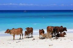 Табун коров на пляже Стоковые Фото