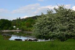 Табун коров около озера и цветя весны дерева Стоковые Фотографии RF