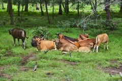 Табун коров отдыхая в луге стоковые фото