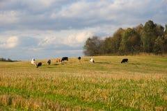 Табун коров пася в поле лесом Стоковые Изображения RF