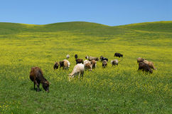 Табун коров пася на зеленом луге Стоковое Фото