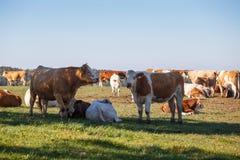 Табун коров пася на лужке Стоковые Изображения