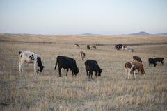 Табун коров пася на холме в поле Стоковые Фотографии RF