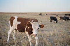 Табун коров пася на холме в поле Стоковые Изображения RF