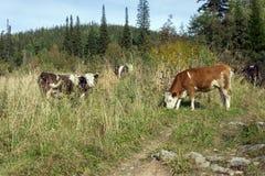 Табун коров пася около дороги, в лесе осени Стоковое Фото