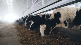 Табун коров питаясь в большом сарае на ферме видеоматериал