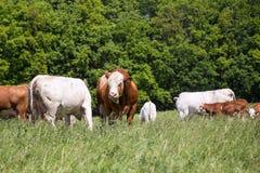Табун коров при икры и быки пася на выгоне Фауна и флора природы Стоковое фото RF