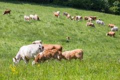 Табун коров при икры и быки пася на выгоне Стоковое Изображение