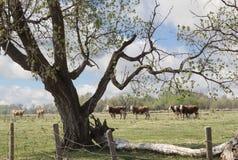 Табун коров стоя в зеленом выгоне Стоковая Фотография RF