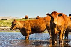 табун коров Стоковые Изображения RF